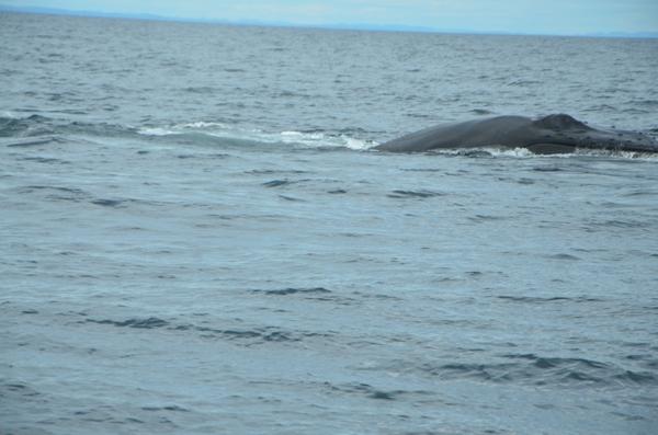 baleine_noire