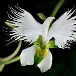orchidee-aigrette-blanche