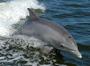 Tursiops_truncatus_01-cropped