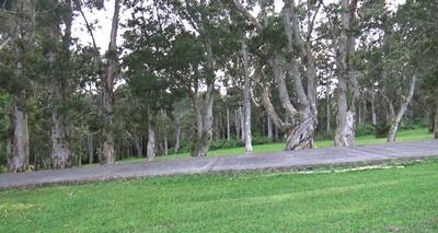 eucalyptus_r