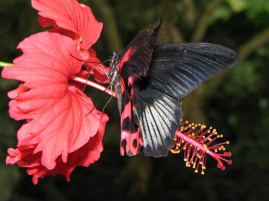 sur-une-fleur-d-hibiscus